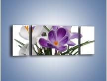 Obraz na płótnie – Biało-fioletowe krokusy – trzyczęściowy K020W5