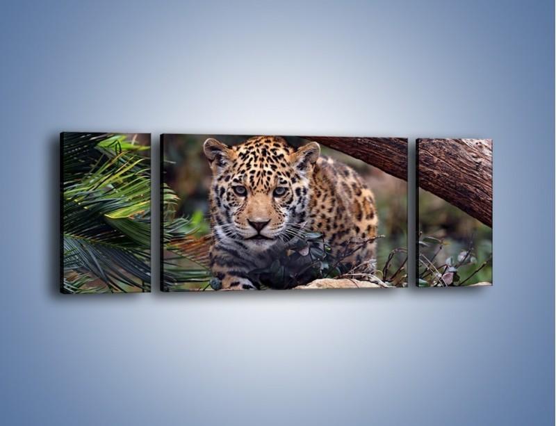 Obraz na płótnie – Jaguar w gotowości – trzyczęściowy Z198W5
