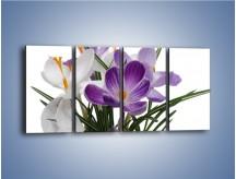 Obraz na płótnie – Biało-fioletowe krokusy – czteroczęściowy K020W1
