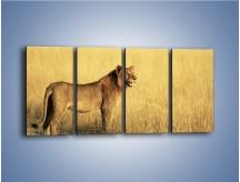 Obraz na płótnie – Czujny wzrok lwicy – czteroczęściowy Z091W1