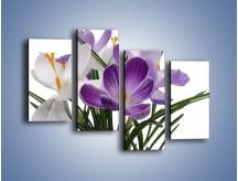 Obraz na płótnie – Biało-fioletowe krokusy – czteroczęściowy K020W2