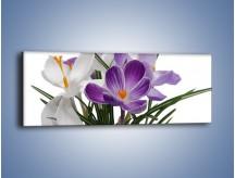 Obraz na płótnie – Biało-fioletowe krokusy – jednoczęściowy panoramiczny K020