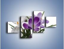 Obraz na płótnie – Biało-fioletowe krokusy – czteroczęściowy K020W3