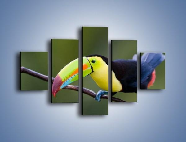 Obraz na płótnie – Tukan na cienkiej gałązce – pięcioczęściowy Z082W1