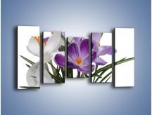 Obraz na płótnie – Biało-fioletowe krokusy – pięcioczęściowy K020W2