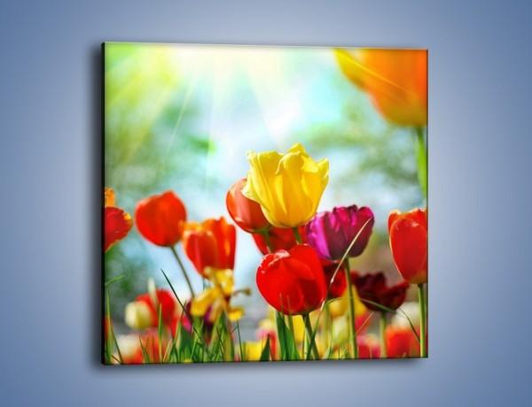 Obraz na płótnie – Pole polskich tulipanów – jednoczęściowy kwadratowy K011