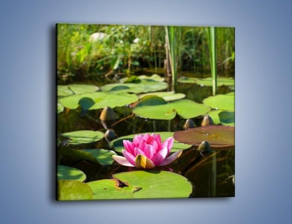 Obraz na płótnie – Ciemno-różowy nenufar na wodzie – jednoczęściowy kwadratowy K014