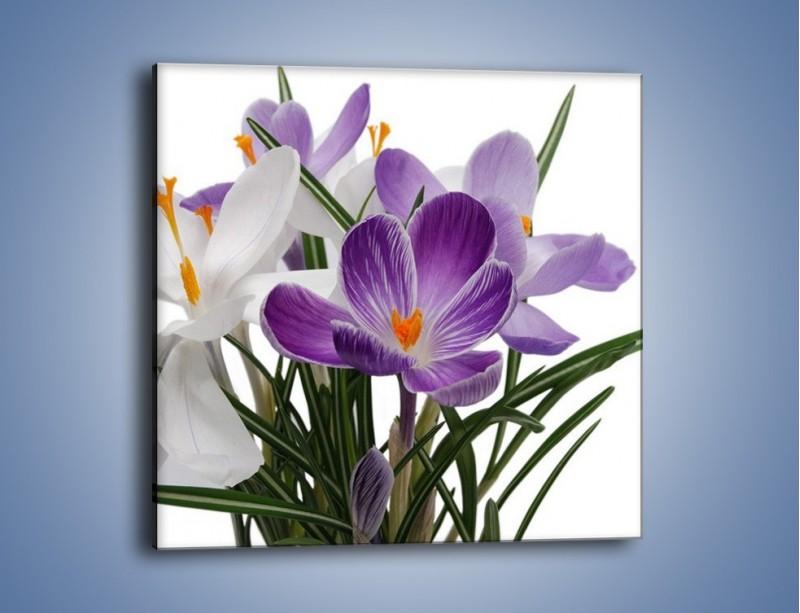 Obraz na płótnie – Biało-fioletowe krokusy – jednoczęściowy kwadratowy K020
