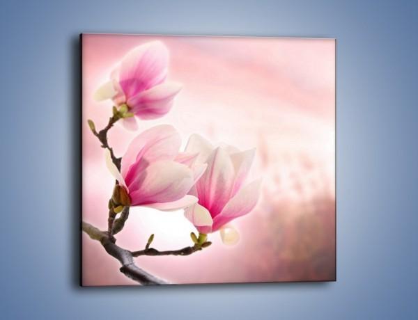 Obraz na płótnie – W pół rozwinięte biało-różowe magnolie – jednoczęściowy kwadratowy K033