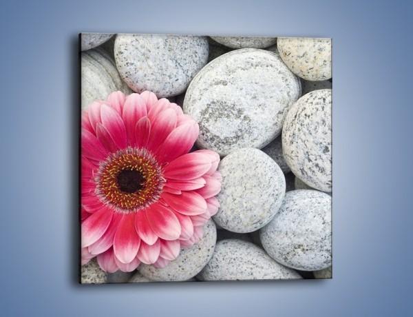 Obraz na płótnie – Gerbera w towarzystwie szarych kamieni – jednoczęściowy kwadratowy K069