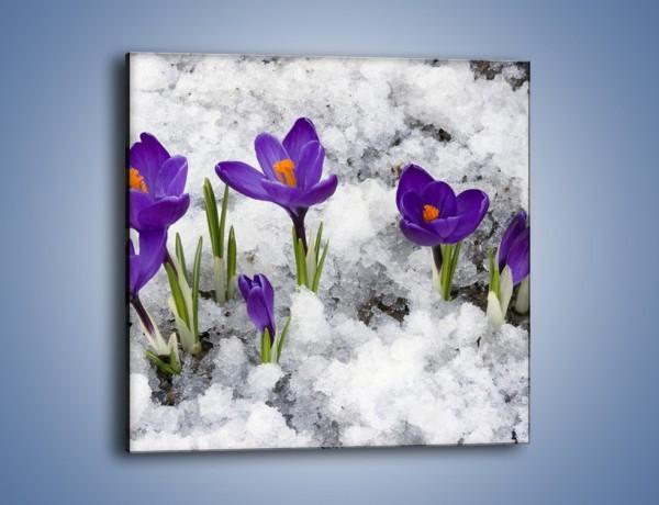 Obraz na płótnie – Fioletowe przebiśniegi w lodzie – jednoczęściowy kwadratowy K075