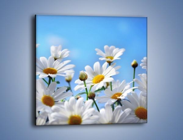 Obraz na płótnie – Niebo z rumiankami – jednoczęściowy kwadratowy K097