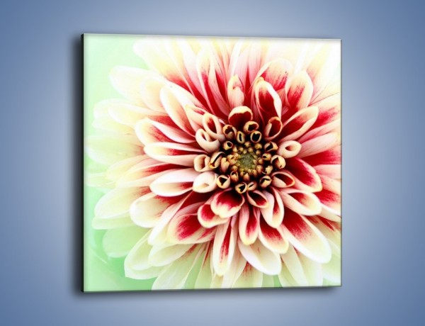 Obraz na płótnie – Rozwinięty jasny kwiat dalii – jednoczęściowy kwadratowy K098
