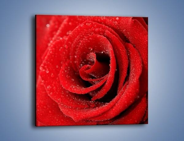 Obraz na płótnie – Róża pełna namiętności – jednoczęściowy kwadratowy K174
