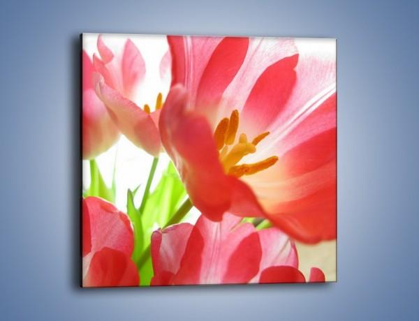 Obraz na płótnie – Rozwinięty tulipan w słońcu – jednoczęściowy kwadratowy K188