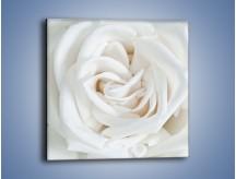 Obraz na płótnie – Biel róży za dnia – jednoczęściowy kwadratowy K709