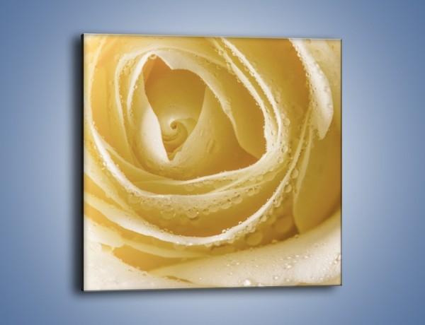 Obraz na płótnie – Róża niczym beza – jednoczęściowy kwadratowy K737