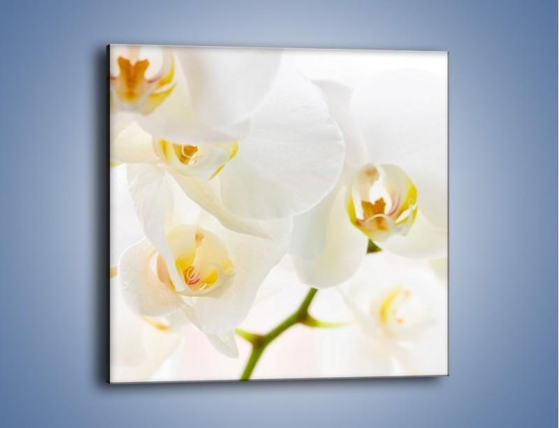 Obraz na płótnie – Białe storczyki blisko siebie – jednoczęściowy kwadratowy K811
