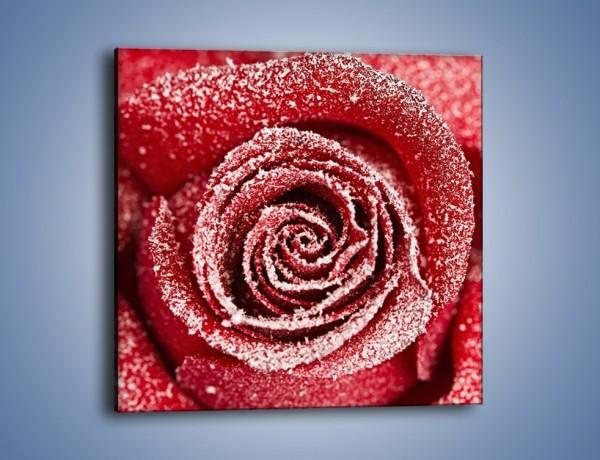 Obraz na płótnie – Szron na różanych płatkach – jednoczęściowy kwadratowy K958