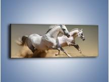 Obraz na płótnie – Białe konie w pustynnym galopie – jednoczęściowy panoramiczny Z055