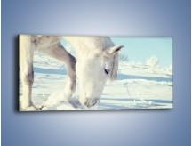Obraz na płótnie – Arab w śnieżnym puchu – jednoczęściowy panoramiczny Z144