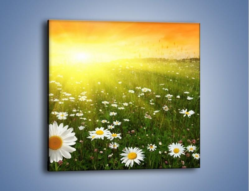Obraz na płótnie – Łąka stokrotek o zachodzie słońca – jednoczęściowy kwadratowy KN009