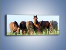 Obraz na płótnie – W stadzie koni ktoś rządzi – jednoczęściowy panoramiczny Z231