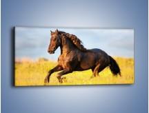 Obraz na płótnie – Dziki koń i jego mięśnie – jednoczęściowy panoramiczny Z232