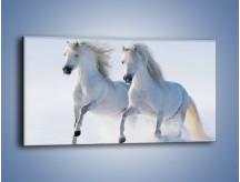 Obraz na płótnie – Gonitwa konna w bieli – jednoczęściowy panoramiczny Z240