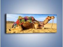 Obraz na płótnie – Wystrojony wielbłąd na pustyni – jednoczęściowy panoramiczny Z266