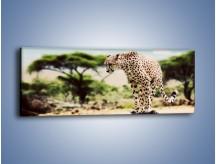 Obraz na płótnie – Cała zwinność geparda – jednoczęściowy panoramiczny Z315