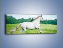 Obraz na płótnie – Biały koń i leśna polana – jednoczęściowy panoramiczny Z317