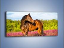 Obraz na płótnie – Koń w lawendowym polu – jednoczęściowy panoramiczny Z340