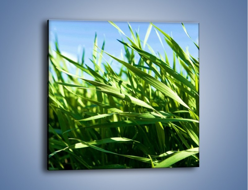 Obraz na płótnie – Wiatr w łodygach – jednoczęściowy kwadratowy KN176