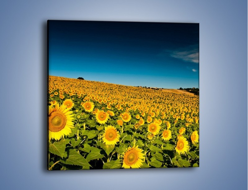 Obraz na płótnie – Słonecznikowe uśmiechnięte główki – jednoczęściowy kwadratowy KN205