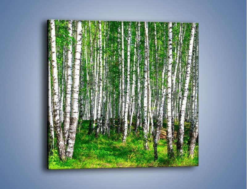 Obraz na płótnie – Brzózki w lasku – jednoczęściowy kwadratowy KN400