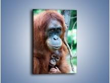 Obraz na płótnie – W uścisku orangutana – jednoczęściowy prostokątny pionowy Z095