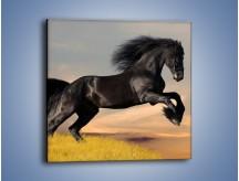 Obraz na płótnie – Czarny koń w galopie – jednoczęściowy kwadratowy Z008