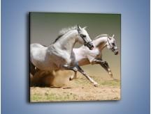 Obraz na płótnie – Białe konie w pustynnym galopie – jednoczęściowy kwadratowy Z055
