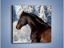 Obraz na płótnie – Brązowy ogier na zimowym spacerze – jednoczęściowy kwadratowy Z056