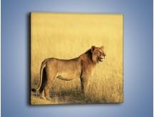Obraz na płótnie – Czujny wzrok lwicy – jednoczęściowy kwadratowy Z091
