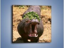 Obraz na płótnie – Hipopotam u dentysty – jednoczęściowy kwadratowy Z117
