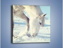 Obraz na płótnie – Arab w śnieżnym puchu – jednoczęściowy kwadratowy Z144