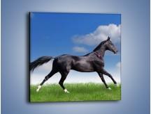 Obraz na płótnie – Dziki koń w biegu – jednoczęściowy kwadratowy Z194