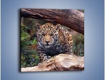 Obraz na płótnie – Jaguar w gotowości – jednoczęściowy kwadratowy Z198