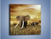 Obraz na płótnie – Drogocenne kły słonia – jednoczęściowy kwadratowy Z214
