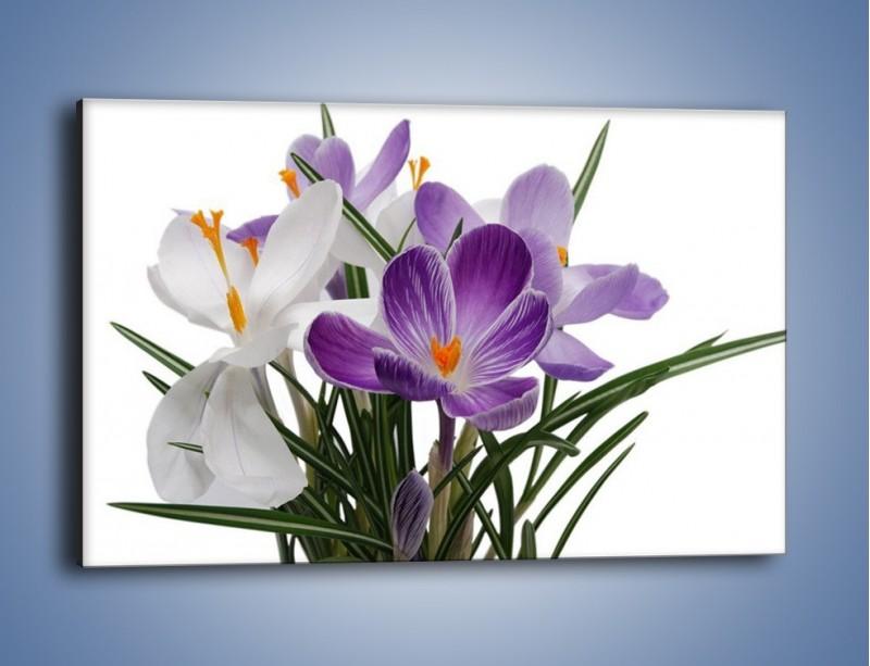 Obraz na płótnie – Biało-fioletowe krokusy – jednoczęściowy prostokątny poziomy K020
