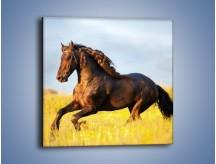 Obraz na płótnie – Dziki koń i jego mięśnie – jednoczęściowy kwadratowy Z232