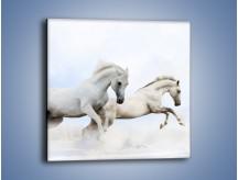 Obraz na płótnie – Białe konie i biały śnieg – jednoczęściowy kwadratowy Z239