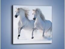 Obraz na płótnie – Gonitwa konna w bieli – jednoczęściowy kwadratowy Z240